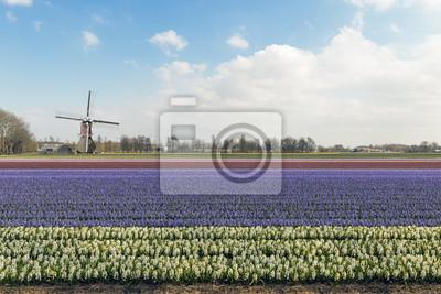 Hermoso color narcisos granja de flores en Flavoland en el norte Est de Amsterdam, Países Bajos