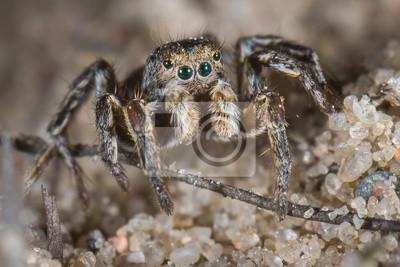 Hombre Araña aelurillus v-insignitus