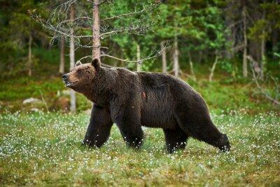 Cuadro Hombre oso pardo