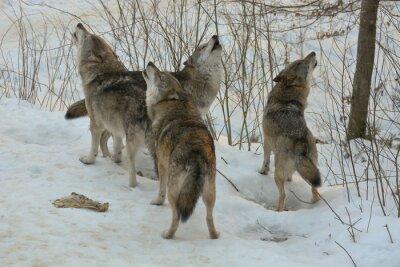 Cuadro Howling lobos