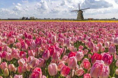 Cuadro Iconic tulipanes holandeses granja del bulbo en el tiempo de primavera en Ámsterdam