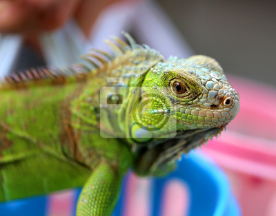 Cuadro Iguana verde lagarto