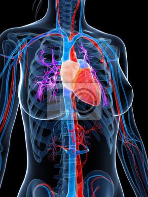 Ilustración 3d prestados del sistema vascular femenino pinturas para ...