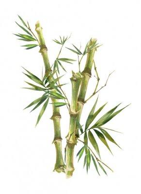 Cuadro Ilustración acuarela pintura de hojas de bambú, sobre fondo blanco.