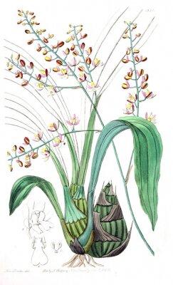 Cuadro Ilustración de la planta