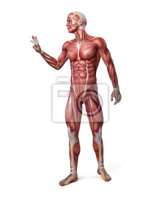 Ilustración médica 3d del sistema muscular masculina pinturas para ...