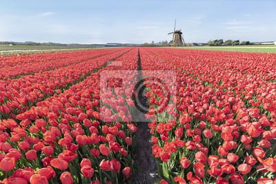 Interminables bulbos de tulipanes rojos de granja en primavera en Lisse, cerca del famoso jardín de tulipanes keukenhof, Países Bajos