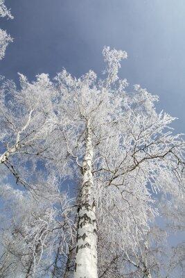 Cuadro Invierno abedules árboles bosque