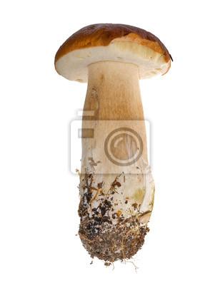 Cuadro joven largo cep mushroom
