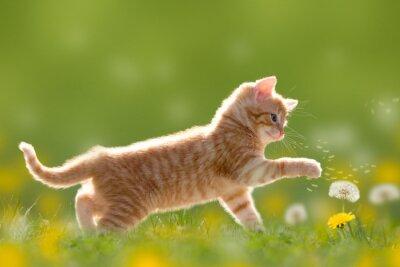Cuadro Junge Katze spielt mit Pusteblume / Löwenzahn