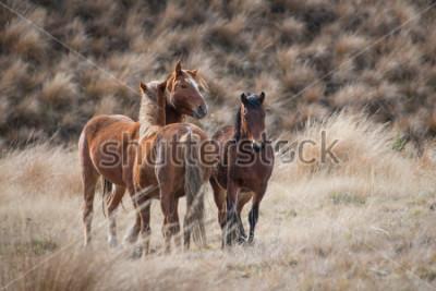Cuadro Kaimanawa caballos salvajes con orejas hacia arriba