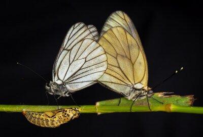 Cuadro Kelebekler