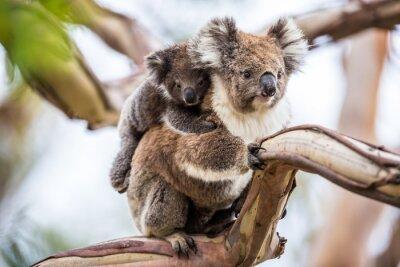 Cuadro Koala