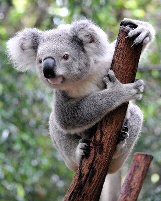 Cuadro Koala Curioso