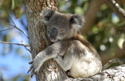 Cuadro Koala en el área de Port Stephens, NSW, Australia.