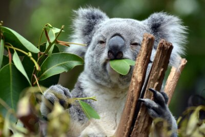 Cuadro Koala en Lone Pine Koala Sanctuary en Brisbane, Australia