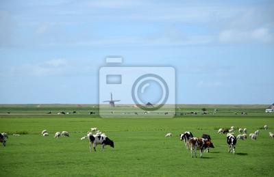 Kuhherde en Nordholland