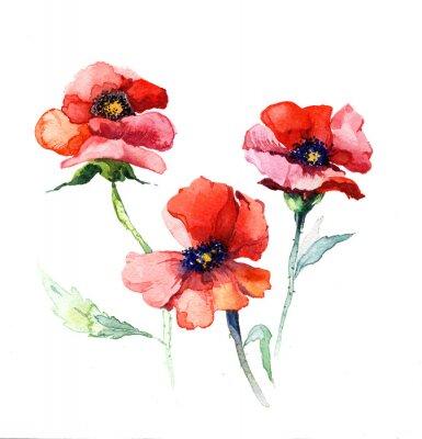 Cuadro la acuarela de las flores de primavera pintura de amapola aislados en el fondo blanco