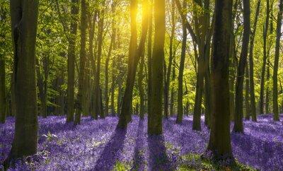 Cuadro La luz del sol proyecta sombras a través de campanillas en un bosque