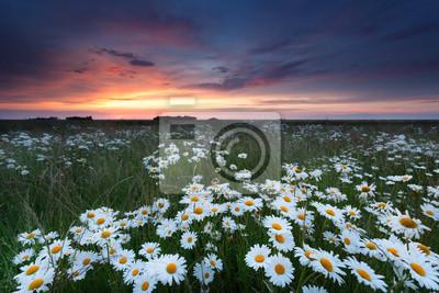 la puesta del sol del verano sobre el campo de la manzanilla