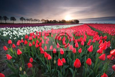 la salida del sol en el campo de tulipán rojo