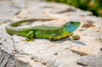 Cuadro Lagarto verde de lagarto de esmeralda tomando el sol en una roca