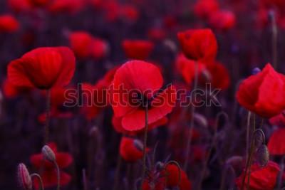 Cuadro Las flores rojas de las amapolas florecen en campo salvaje. Campo hermoso amapolas rojas con enfoque selectivo. Viraje. Procesamiento creativo en clave oscura baja