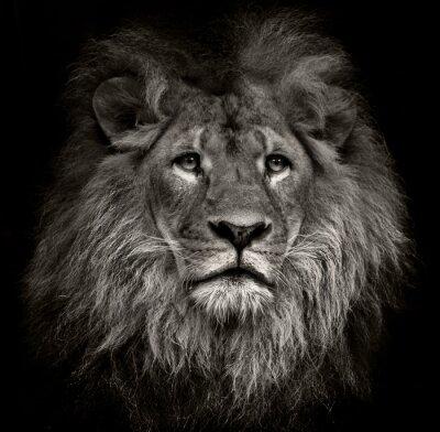 Cuadro león arrogante