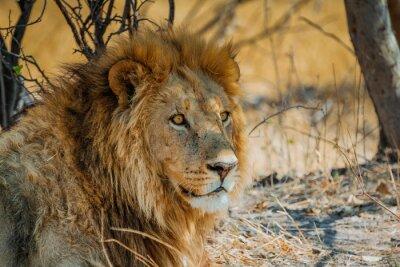 Cuadro león en África