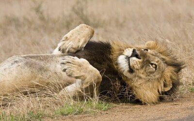 Cuadro león macho acostado en el monte, Kruger, Sudáfrica