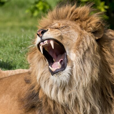 Cuadro León masculino con un bostezo