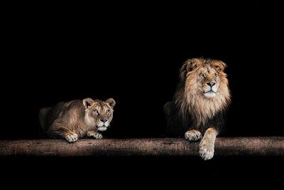 Cuadro León y leona, retrato de un hermoso leones, leones en la