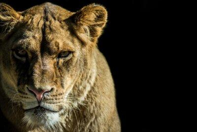 Cuadro leone - león