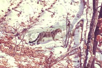 Cuadro Leopardo junto al mar, animal agresivo que camina en el suelo nevado, leopardo rayado hermoso grande. Invierno