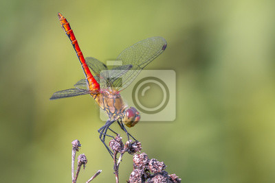 Libelle Libélula - Blutrote Heidelibelle - Sympetrum sanguineum - Männchen