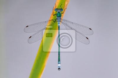 Libelle Libélula - Gemeine Binsenjungfer - Lestes sponsa - Männchen