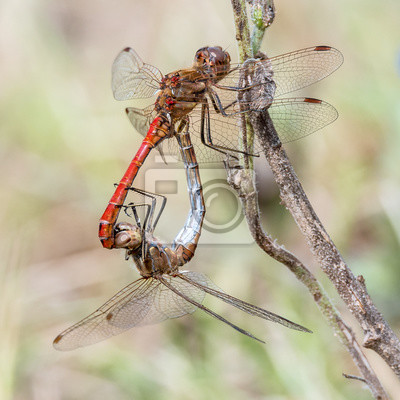 Libelle Libélula - Gemeine Heidelibelle - Sympetrum vulgatum - Paarungsrad