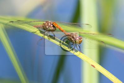 Libelle Libélula - Gemeine Heidelibelle - Sympetrum vulgatum - Tandem Flug