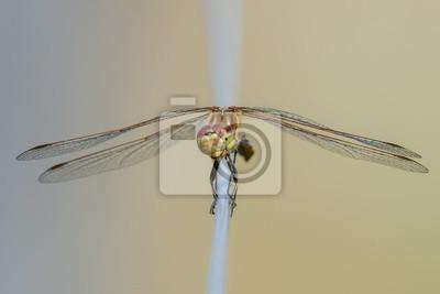Libelle Libélula - Gemeine Heidelibelle - Sympetrum vulgatum - Weibchen