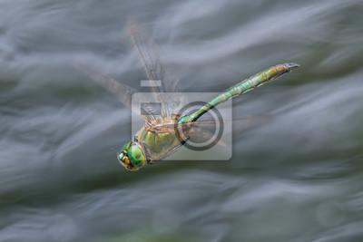 Libelle Libélula - Glänzende Smaragdlibelle - Somatochlora metallica - im Flug