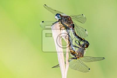 Libelle Libélula - Große Moosjungfer - Leucorrhinia pectoralis, Paarungsrad