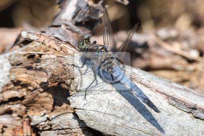 Libelle Libélula - Großer Blaupfeil - Orthetrum cancellatum - Männchen