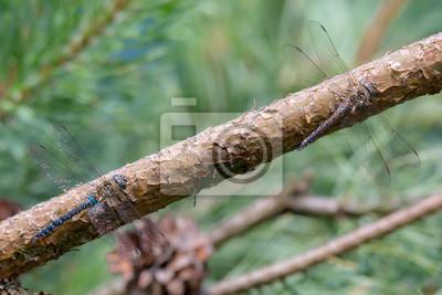 Libelle Libélula - Herbst Mosaikjungfer - Aeshna mixta - Ausgefärbtes Männchen und nicht ausgefärbtes Weibchen