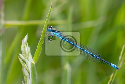 Libelle Libélula - Hufeisen Azurjungfer Coenagrion puella Männchen