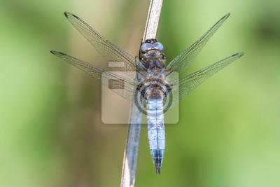 Libelle Libélula - Spitzenfleck - Libellula fulva, Männchen