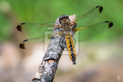 Libelle Libélula - Spitzenfleck - Libellula fulva, Weibchen