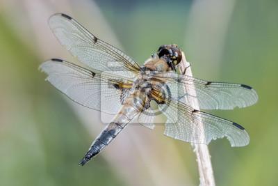 Libelle libélula - Vierfleck - Libellula quadrimaculata - altes Männchen