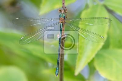 Libélula libélula - Westliche Weidenjungfer - Chalcolestes viridis - Weibchen