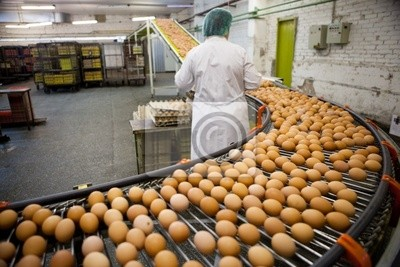 línea de producción de huevos