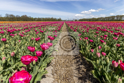 Lines of tulips bulb farm in spring time at Amsterdam